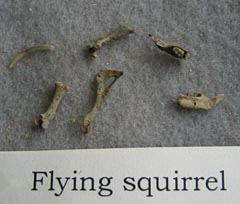 flying squirrel bones